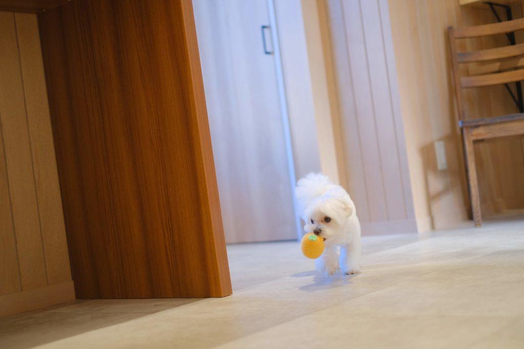 おもちゃをもって走るマルチーズ の子犬