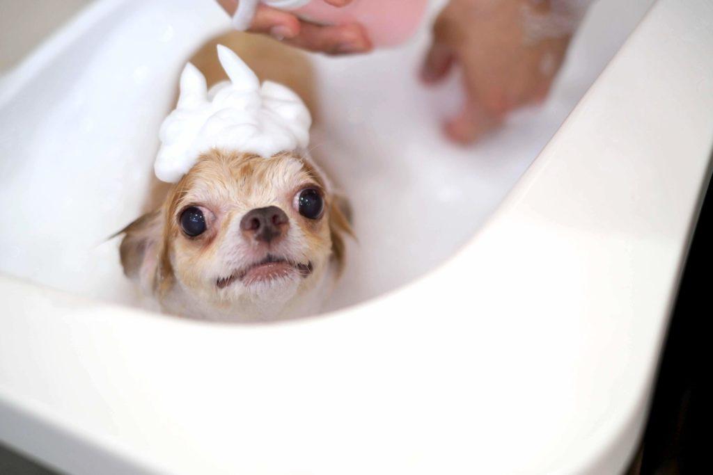 犬のシャンプー中の写真